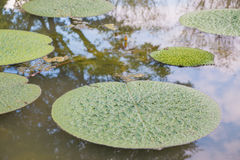 Lotus leaf floating in the pool. Lotus leaf floating in the pool on summer royalty free stock image