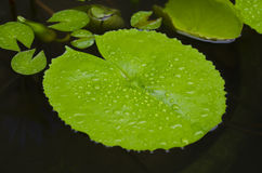 Lotus leaf floating on the water. Stock Photos