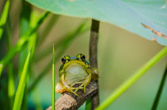 The lotus leaf frogs Stock Photo