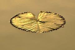 Lotus leaf golden light in morning light Royalty Free Stock Photos