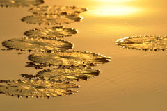 Lotus leaf golden light in morning light Royalty Free Stock Photography