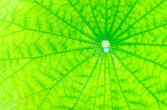 Lotus leaf green background Royalty Free Stock Photography
