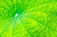 Lotus leaf green background Royalty Free Stock Photo