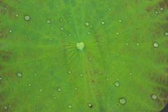 Lotus leaf. Lotus green leaf with droplet Stock Image