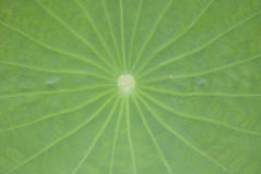 Lotus leaf. Green lotus flooring for backdrop presentation Royalty Free Stock Photography