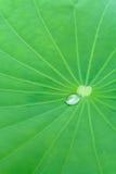 Lotus leaf. Green Lotus leaf with water droplet on leaf Royalty Free Stock Image