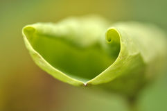 Lotus leaf at the growing Stock Photo