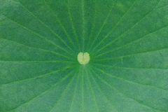Lotus leaf Stock Photography