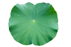 Lotus leaf. isolate white background. Stock Photos
