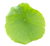 Lotus leaf Royalty Free Stock Photography