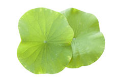 Lotus Leaf Isolated On White Royalty Free Stock Images