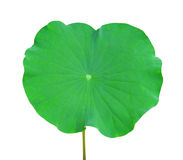 Lotus leaf. Isolated on white royalty free stock photography