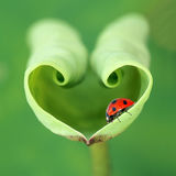Lotus leaf and ladybug. The red ladybug on tender lotus leaf stock image