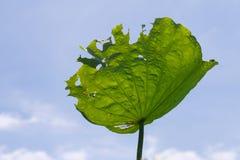 Lotus leaf that leaves tattered Stock Image