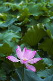Lotus leaf and lotus Stock Photo