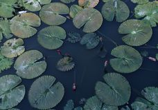 Lotus leaf. In the lake nature blackground textures outdoor green water royalty free stock photography