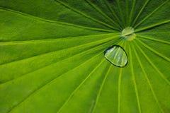 Lotus Leaf met Regendruppels Stock Afbeelding