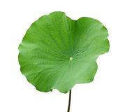Lotus Leaf. Nelumbo Nucifera lotus leaf isolated on white background royalty free stock image