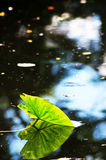 Lotus leaf in a pond with reflection of itself Royalty Free Stock Images