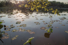 Lotus leaf in the pond Stock Images