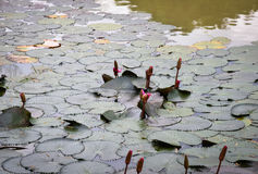 Lotus leaf in the pool Royalty Free Stock Photography