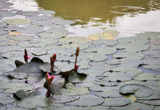 Lotus leaf in the pool Royalty Free Stock Photo