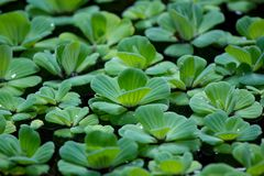 Lotus leaf in the pot leaf. Capture in Bali royalty free stock photography