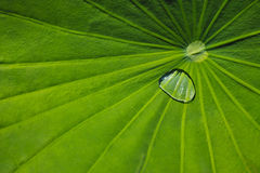 Lotus leaf with raindrops Stock Image