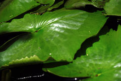 Lotus Leaf River Royalty Free Stock Photography