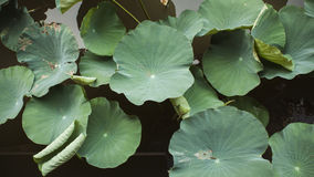 Lotus leaf. Section crop of pool Royalty Free Stock Photography