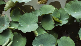 Lotus leaf. Section crop of pool Royalty Free Stock Photos