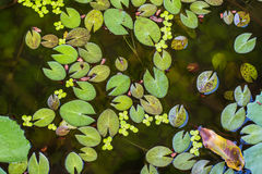 Lotus leaf small in pond Stock Photos
