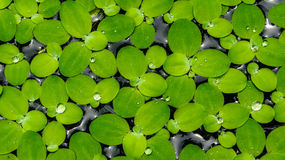 Lotus leaf. Small lotus leaf on the water Stock Photo