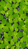 Lotus leaf. Small lotus leaf on the water Stock Image