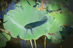 Lotus leaf Royalty Free Stock Image
