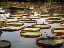 Lotus leaf Royalty Free Stock Image