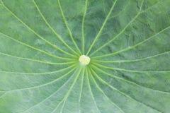 Lotus Leaf Texture Stock Photo