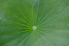 Lotus leaf texture Stock Images
