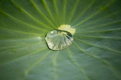 Lotus leaf texture. Lotus  leaf green  texture background Stock Photo