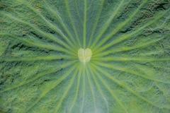Lotus leaf texture. Lotus leaf surface,Lotus leaf texture Stock Images