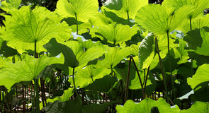 Lotus leaf Royalty Free Stock Photo