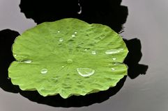 Lotus Leaf with water Royalty Free Stock Photography