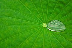 Lotus Leaf with water bubble. Close up of a Lotus Leaf with water bubble Stock Photo