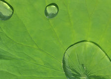 Lotus leaf with water drop Stock Photo