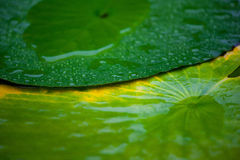 Lotus Leaf with water drop Royalty Free Stock Image