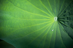 Lotus leaf with water drop Stock Photos
