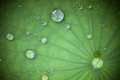 Lotus leaf with water drop. Green Lotus leaf with water drop as background stock images