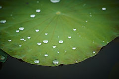 Lotus leaf with water drop royalty free stock photos