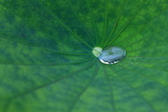 Lotus leaf. With water drops Royalty Free Stock Image