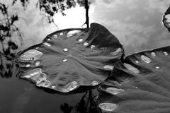Lotus leaf with water drops, black and white image Royalty Free Stock Photography